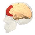 deciding brain 4